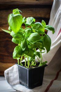 Basilicumplant